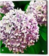 Hydrangea Purple Acrylic Print by Ryan Kelly