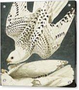 Iceland Or Jer Falcon Acrylic Print by John James Audubon