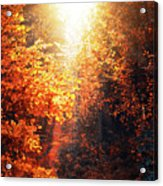 Illuminated Forest Acrylic Print by Wim Lanclus