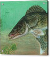 Illustration Of A Walleye Swimming Acrylic Print by Carlyn Iverson