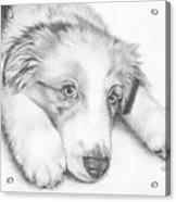 I'm Sorry - Australian Shepherd Puppy Acrylic Print by Heather Page