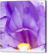 Iris Blossom Acrylic Print by Dina Calvarese