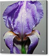 Iris In The Rain Acrylic Print by Paul  Trunk