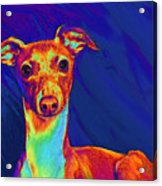 Italian Greyhound  Acrylic Print by Jane Schnetlage