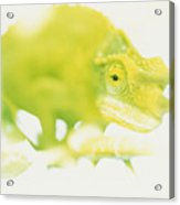 Jacksons Chameleon Color Acrylic Print by Carl Shaneff - Printscapes