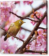 Japanese White-eye On Cherry Blossoms Acrylic Print by David A. LaSpina