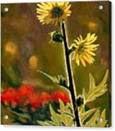 July Afternoon-compass Plant Acrylic Print by Bruce Morrison