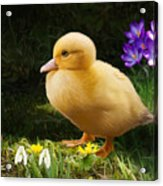 Just Ducky Acrylic Print by Bob Nolin