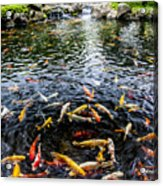 Kauai Koi Pond Acrylic Print by Darcy Michaelchuk