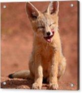 Kit Fox Pup Mid-lick Acrylic Print by Max Allen