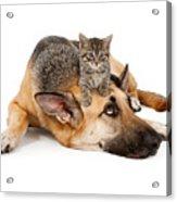 Kitten Laying On German Shepherd Acrylic Print by Susan  Schmitz