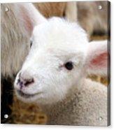 Lamb Acrylic Print by Michelle Calkins
