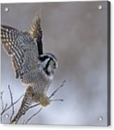 Landing Hawk Owl Acrylic Print by Tim Grams