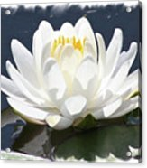 Large Water Lily With White Border Acrylic Print by Carol Groenen