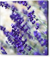 Lavender Blue Acrylic Print by Frank Tschakert