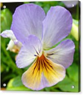 Lavender Pansy Acrylic Print by Nancy Mueller