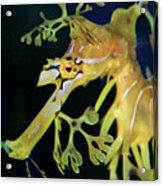Leafy Sea Dragon Acrylic Print by Mariola Bitner