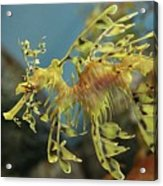 Leafy Sea Dragon Acrylic Print by Yue Chen