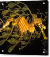Leafy Seadragon, Off Kangaroo Island Acrylic Print by James Forte