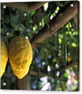 Lemons Hanging From A Lemon Tree Acrylic Print by Richard Nowitz