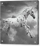 Leopard Appaloosa Cloud Runner Acrylic Print by Renee Forth-Fukumoto