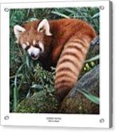 Lesser Panda Ailurus Fulgens Acrylic Print by Owen Bell