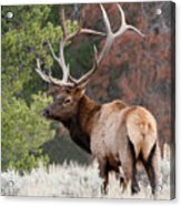 Let The Rut Begin Acrylic Print by Sandra Bronstein