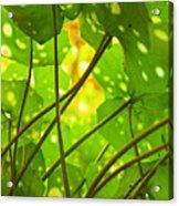 Ligularia Tussilaginea Acrylic Print by Carlos Caetano