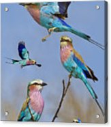 Lilac-breasted Roller Collage Acrylic Print by Basie Van Zyl