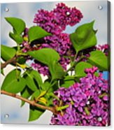 Lilacs Acrylic Print by Catherine Reusch  Daley