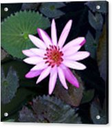Lilly Pad Acrylic Print by Rebecca Cozart