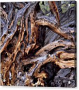 Limber Pine Roots Acrylic Print by Leland D Howard