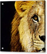 Lion Art - Face Off Acrylic Print by Sharon Cummings