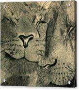 Lions In Love Acrylic Print by Ramneek Narang