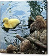 Little Ducky Acrylic Print by Angelina Vick
