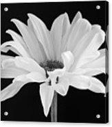 Lone Daisy Acrylic Print by Harry H Hicklin