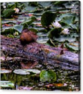 Lone Duck Acrylic Print by David Patterson