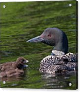 Loon Afternoon Acrylic Print by Peter Gray