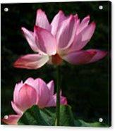 Lotus Beauties--upstaged Dl048 Acrylic Print by Gerry Gantt