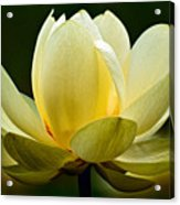 Lotus Blossom Acrylic Print by Christopher Holmes