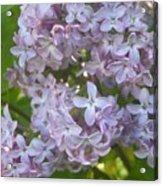Lovely Lilacs Acrylic Print by Anna Villarreal Garbis