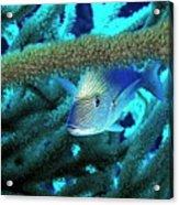 Lutjan Seaperch Hiding In Soft Coral Acrylic Print by Sami Sarkis