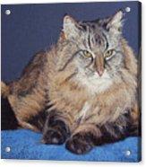 Maine Coon Kitty Acrylic Print by Kay Ridge