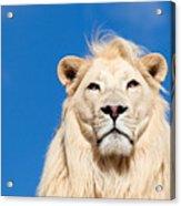 Majestic White Lion Acrylic Print by Sarah Cheriton-Jones