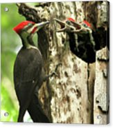 Male Pileated Woodpecker At Nest Acrylic Print by Mircea Costina Photography
