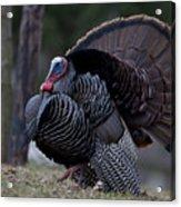 Male Wild Turkey, Meleagris Gallopavo Acrylic Print by John Cancalosi