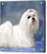 Maltese Dog Acrylic Print by Corey Ford