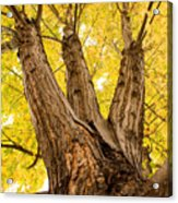 Maple Tree Portrait Acrylic Print by James BO  Insogna