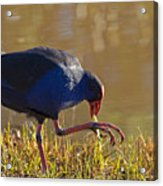 March Of The Swamphen Acrylic Print by Mike  Dawson