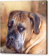 Mastiff Portrait Acrylic Print by Carol Cavalaris